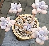 아메치스묵은둥이자연|Graptopetalum amethystinum