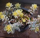 베라하긴스금 805-731 Graptopetalum Mirinae