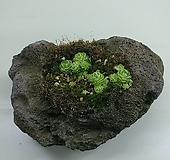 벌레잡이제비꽃 에셀리아나/화산석 