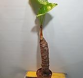 알로카시아(한목대) 중품 ( 농장직영상품) |