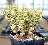 희성금 70-88 Crassula Rupestris variegata