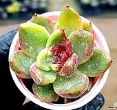 흑장미교배금 18-10 Echeveria Black Rose