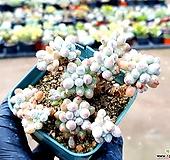 베이비핑거 18-51|Pachyphytum Machucae(baby finger)