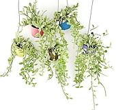 칼라화분 디시디아 색상랜덤 공기정화식물 인테리어 공중식물 에어플랜트 