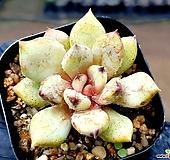 흑장미교배종 18-216 Echeveria Black Rose