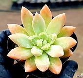 아메치스교배종 18-452|Graptopetalum amethystinum