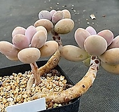아메치스 381|Graptopetalum amethystinum