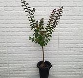 ♥백일홍 외목대 베롱나무♥|