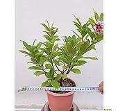 무늬천리향 포트 서향 나무 작은집안 초보자식물 