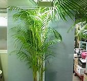 아레카야자특특대품21번-높이200~220센치-로비,거실,베란다,사무실,카페-동일품배송|