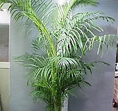 아레카야자특특대품22번-높이200~220센치-로비,거실,베란다,사무실,카페-동일품배송|