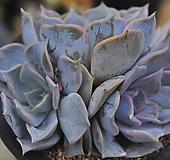 릴리시나(L020)|Echeveria lilacina
