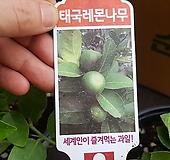 태국레몬나무|