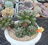 홍포도 자연군생8-405|Graptoveria Ametum