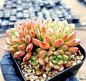 묵은핑클루비 19-396 Sedeveria pink rubby