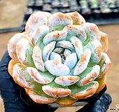 오렌지먼로(중) 19-442 Echeveria Monroe(Orange)