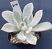 오팔리나백금|Graptoveria Opalina