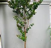 백일홍나무 베롱나무 특대품 / 동일품배송/ 높이 170 너비 90|