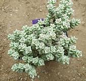 희성금중품 Crassula Rupestris variegata