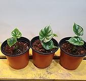 알로카시아드래곤스케일(수입식물) 새로입고|