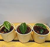 알로카시아 핑크드래곤(수입식물) 새로입고 |