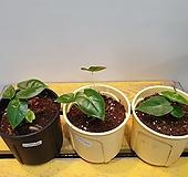 알로카시아 프라이덱그린벨벗 (수입식물)새로입고 |