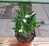 꽃기린(소품)흰색 |