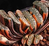 중대형 옥선 금(中大型 玉扇 錦)-06-06-No.2124 Haworthia truncata variegated