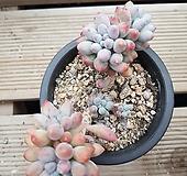 베이비핑거-187|Pachyphytum Machucae(baby finger)