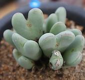 가을을기다리는 축전|Conophytum bilobum