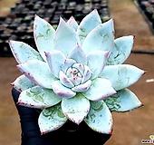 코로라타hy(대) 71-164 Echeveria colorata