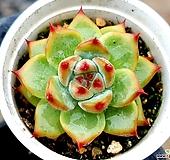 코로라타실생 71-199 Echeveria colorata