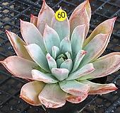 콜로라타브랜티 Echeveria Colorata fma Brandtii