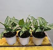 칼라데아 비타타(재입고) 잎이 체크모양이네요|