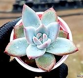코로라타hy 20-351 Echeveria colorata
