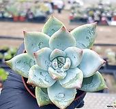화이트코로라타 20-463 Echeveria colorata