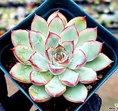 황홀한연꽃 21-56|Echeveria pulidonis