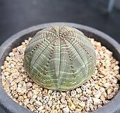 오베사 선인장 1681 Euphorbia obesa (Baseball Plant)