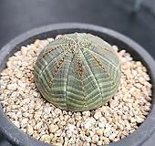 오베사 선인장 1683 Euphorbia obesa (Baseball Plant)