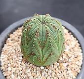 오베사 선인장 1685 Euphorbia obesa (Baseball Plant)