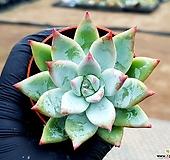 화이트코로라타 21-333 Echeveria colorata