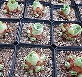 기간티아 Random|Greenovia diplocycla var.gigantea
