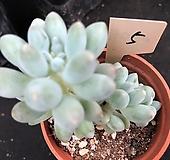 베이비핑거 5|Pachyphytum Machucae(baby finger)