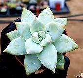 화이트코로라타 72-39 Echeveria colorata