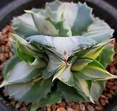 왕비뇌신금 8-414 Agave potatoum(scolymum)