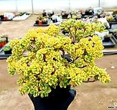린들레이금(대) 22-320 Aeonium Lindleyi