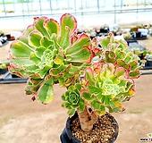 흑법사금 22-321 Aeonium arboreum var. atropurpureum