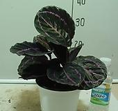 칼라데아-도티-인기식물|
