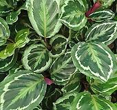 메달리온 칼라데아 실내식물 공기정화식물|