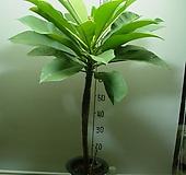 러브하와이 높은키9번-높이110센치-상아색꽃-황홀-동일품배송|Echeveria ivory
